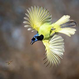 Green Jay chasing Wasp by Judi Dressler