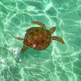 Green Sea Turtle, Kaneohe Bay by Douglas Peebles