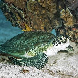 Green Sea Turtle by Susan Hope Finley