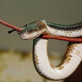 Green Snakes Dance by Lieve Snellings