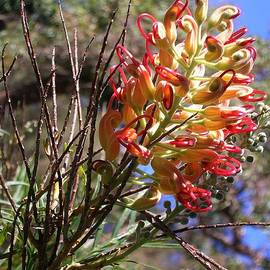 Grevillea banksii by Lesley Evered