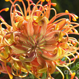 Grevillea Superb Flower Australian Native by Joy Watson