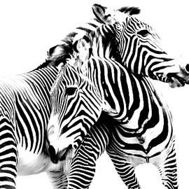 Grevy's Zebras by Nancy Jacobson