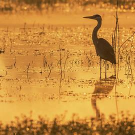 Grey heron at sunrise by Vishwanath Bhat