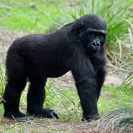 Grinning Young Gorilla by Richard Bryce and Family