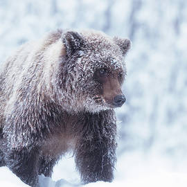 Grizzly bear in Yukon October snow by Murray Rudd