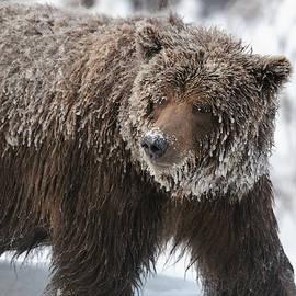Grizzly bear portrait by Murray Rudd