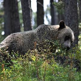 Grizzly in the Tetons by Amber Johnson