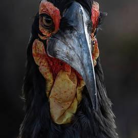 Ground Hornbill Portrait by MaryJane Sesto