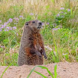 Groundhog  in Springtime by Morris Finkelstein