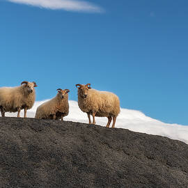 Group of Icelandic sheep, Iceland by Yves Gagnon