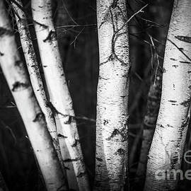 Group of White Birch by Alana Ranney