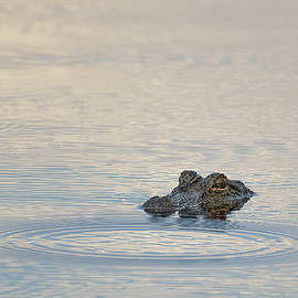 Groupie Gator by Bill Chambers