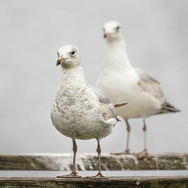 Gull Family Portrait by Morey Gers