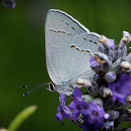Hairstreak Butterfly 2 by Morgan Wright