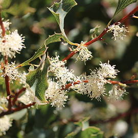 Hakea undulata spray by Michaela Perryman