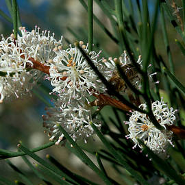 Hakea With Bee by Graham Palmer