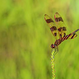 Halloween Pennant Dragonfly by Sandi Kroll
