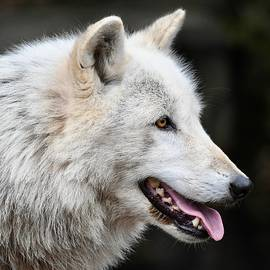 Handsome Wolf Profile by Richard Bryce and Family