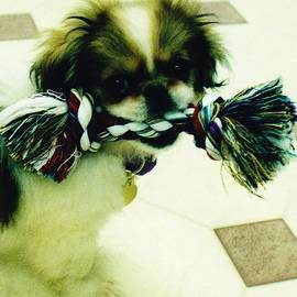 Taffy Happy Pet  by Paul - Phyllis Stuart