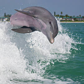 Happy Dolphin by Mark Chandler