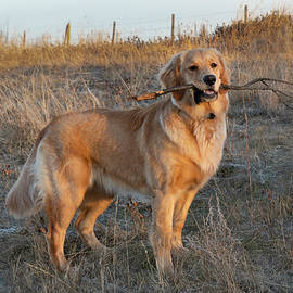 Happy Golden Retriever With Stick by Karen Rispin