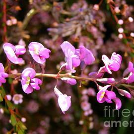 Hardenbergia violacea 'Austraflora Aspiration.' by Rita Blom