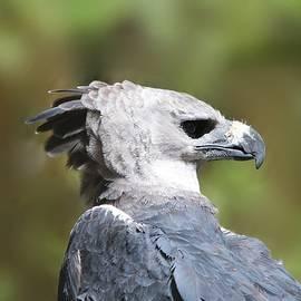 Harpy Eagle Panama National Bird by Marlin and Laura Hum