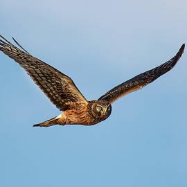 Harrier Hawk Glance by Art Cole