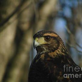 Harris's hawk Potrait 2 by Silvana Miroslava Albano