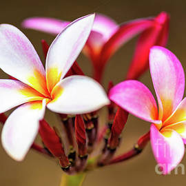 Hawaii Plumeria Blossoms on a Tree by Phillip Espinasse