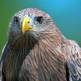 Red Shouldered Hawk Closeup by TJ Baccari
