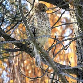 Hawk in a Pine by Donna Kennedy