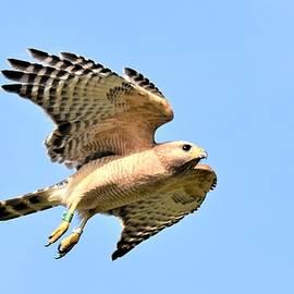 Hawk in Flight by Paula Goodman