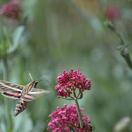 Hawk Moth by Linda Villers