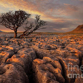 Hawthorne tree at sunset, White Scars, Ingleborough, Yorkshire Dales National Park, England by Neale And Judith Clark