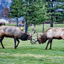 Head Butting Elk by Lorraine Baum