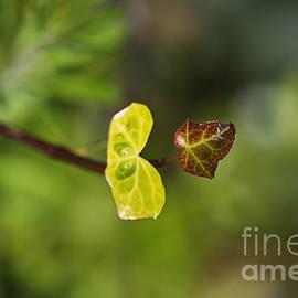 Heart Faced Ivy  by Joy Watson
