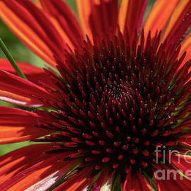 Heart of The Coneflower by Linda Howes