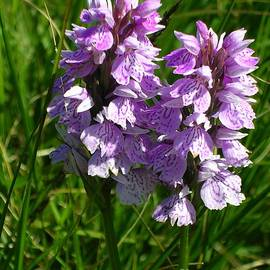 Heath Spotted Orchid - Dactylorhiza maculata by Lesley Evered