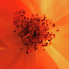 Heavenly Shades of Orange - Flower Photography - Roses From Our Gardens as Art by Brooks Garten Hauschild