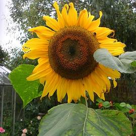 Helianthus annuus -  Common Sunflower by Lesley Evered