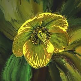 Helleborus niger, #k9 by Leif Sohlman