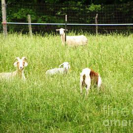 Hello Goats by Sharissa King