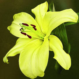 Hemerocallis Daylily by Marcia Colelli