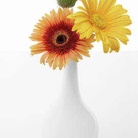 Herberas Yellow Trio in White Vase by Lily Malor