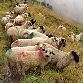 Herd Of Sheep by Ren Kuljovska
