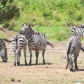 Herd Of Zebras by Marta Kazmierska