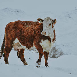 Hereford in the Snow by Riley Bradford