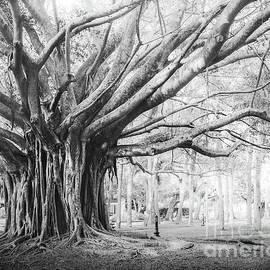 Heritage Park Banyan Tree, Venice, Florida, Black and White 3 by Liesl Walsh